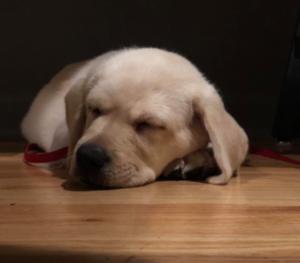 puppy raise full time sleeping puppy