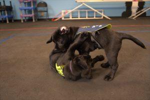 Hamilton Gotcha day service dog puppies