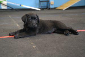 hamilton puppies service dogs puppy