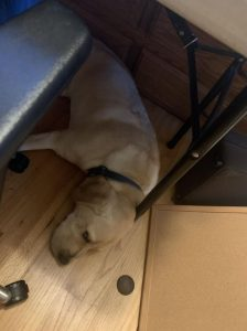part-time puppy raiser day 2 Winslow service dog in training asleep