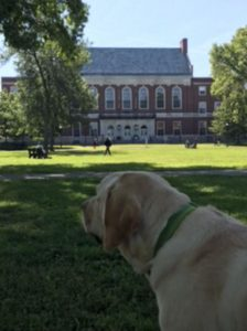 college with service dog lester looks across campus
